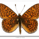 Image of <i>Proclossiana eunomia</i> Esper 1799