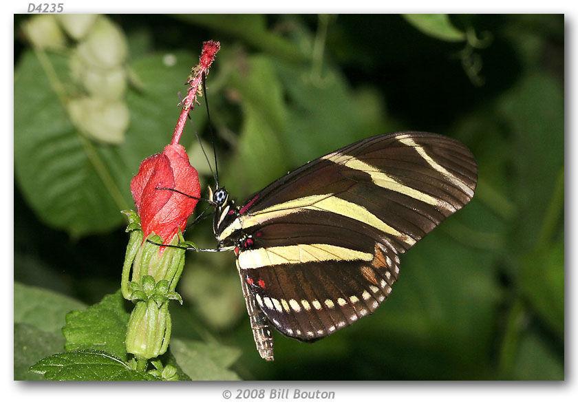 Image of Zebra Longwing