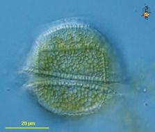 Image of Peridiniaceae