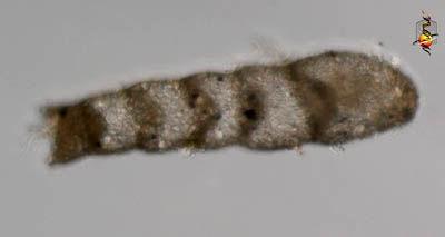 Image of Hormosinoidea Haeckel 1894