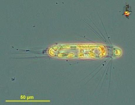 Image of Corethrophycidae
