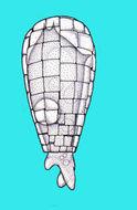 Image of Quadrulella