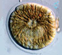 Image of Amphidinium