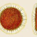 Image of <i>Spongotrochus brevispinus</i> Haeckel 1862