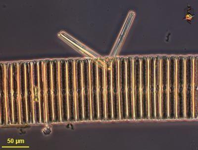 Image of Fragilariophyceae