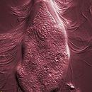 Image of <i>Trichonympha agilis</i>