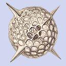 Image of <i>Hexacontium aristarchi</i> (Haeckel) Boltovskoy & Riedel 1980