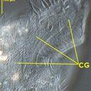 Image of <i>Pseudouroleptus caudatus</i>