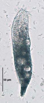 Image of Stichotrichida