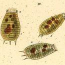 Image of <i>Coleps amphacanthus</i>