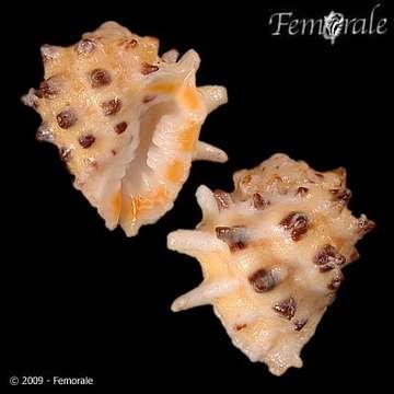 Image of <i>Drupa ricinus arachnoides</i> Lamarck 1816