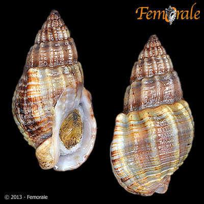 Image of dog whelks