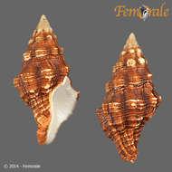 Image of Leucozonia