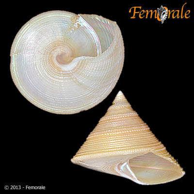 Image of Calliostomatinae Thiele 1924