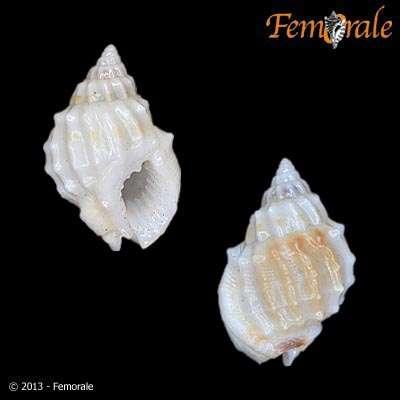Image of Nassariinae Iredale 1916