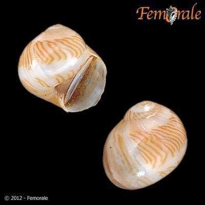 Image of Tectonatica
