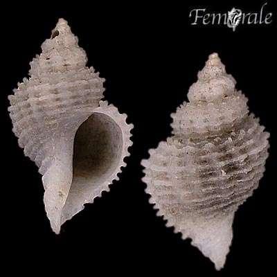 Image of Coralliophilinae Chenu 1859