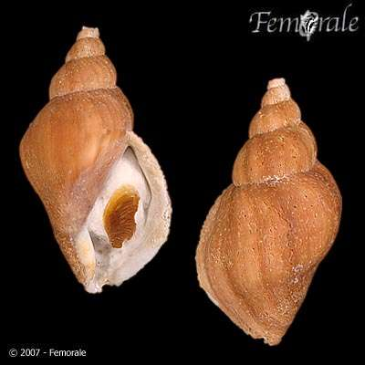 Image of Volutopsius