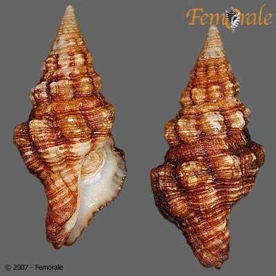 Image of Fasciolariinae Gray 1853