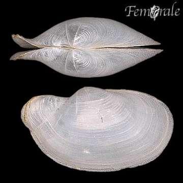 Image of Laternula