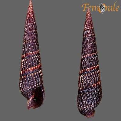 Image of auger shells