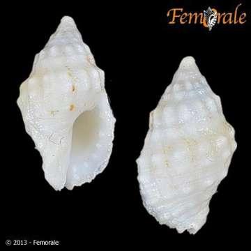 Image of Drupella