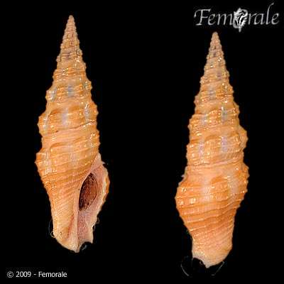 Image of Compsodrillia