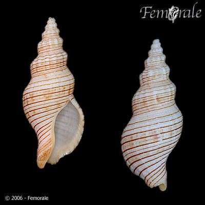 Image of Siphonalia
