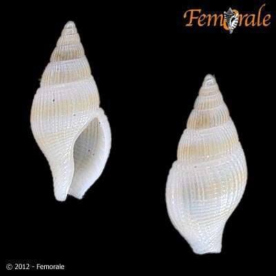 Image of Columbellidae