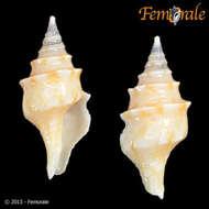 Image of Conoidea