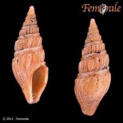 Image of Strictispira