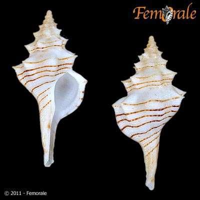 Image of Serratifusus