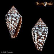 Image of <i>Conus allamandi</i> (Petuch 2013)