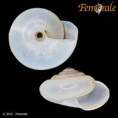 Image of hunter snails