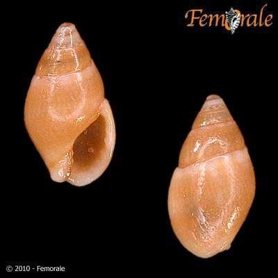 Image of Buccinoidea