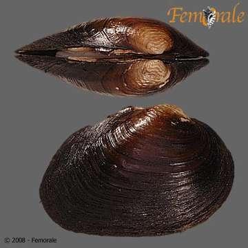 Image of Fusconaia