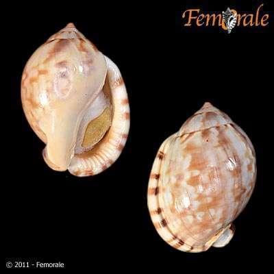 Image of <i>Semicassis labiata</i> (Perry 1811)