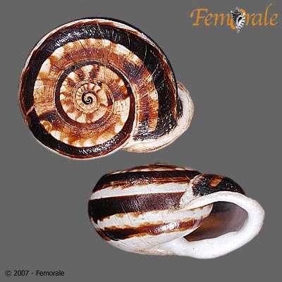 Image of Helicid snails