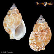 Image of dog whelks
