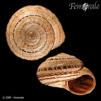 Image of leaf snails