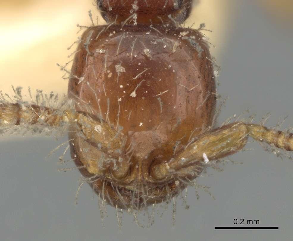 Image of <i>Aenictus javanus</i> Emery 1896