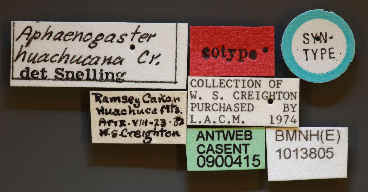 Image of <i>Aphaenogaster huachucana</i> Creighton 1934