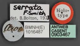 Image of <i>Echinopla serrata</i> (Smith 1859)