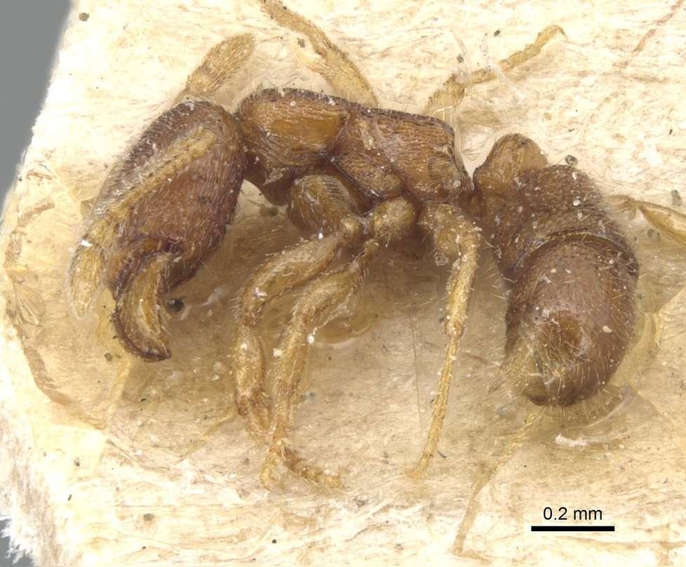 Image of <i>Gnamptogenys epinotalis</i> (Emery 1897)