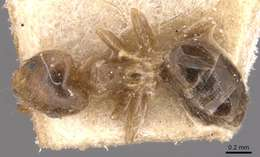 Image of <i>Technomyrmex laurenti</i> (Emery 1899)