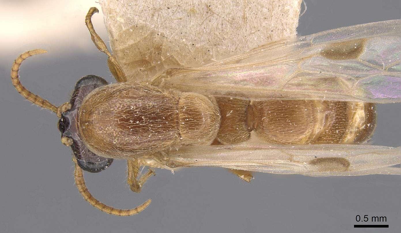 Image of <i>Aenictus latiscapus</i> Forel 1901