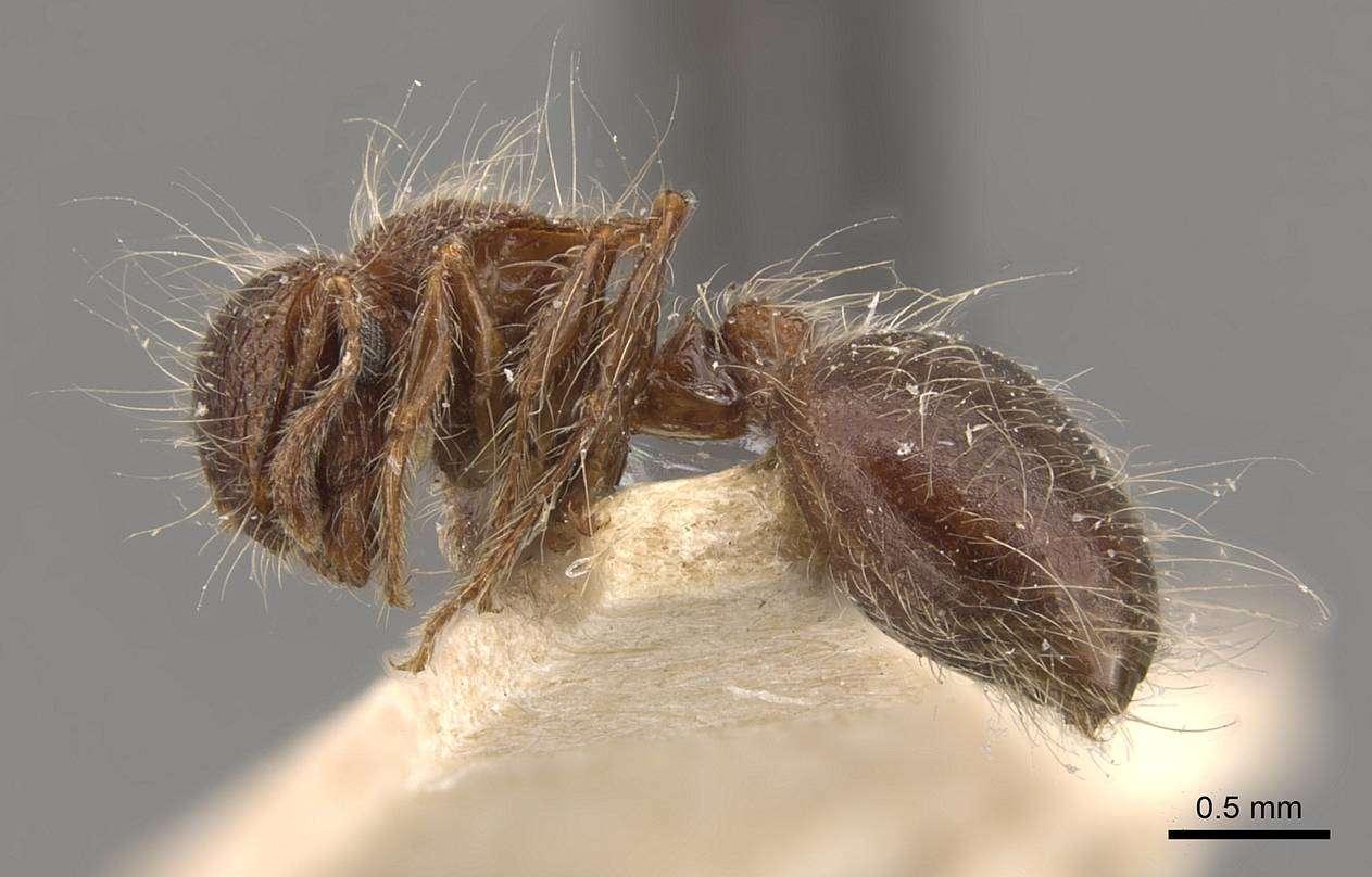 Image of <i>Meranoplus bicolor</i> (Guérin-Méneville 1844)