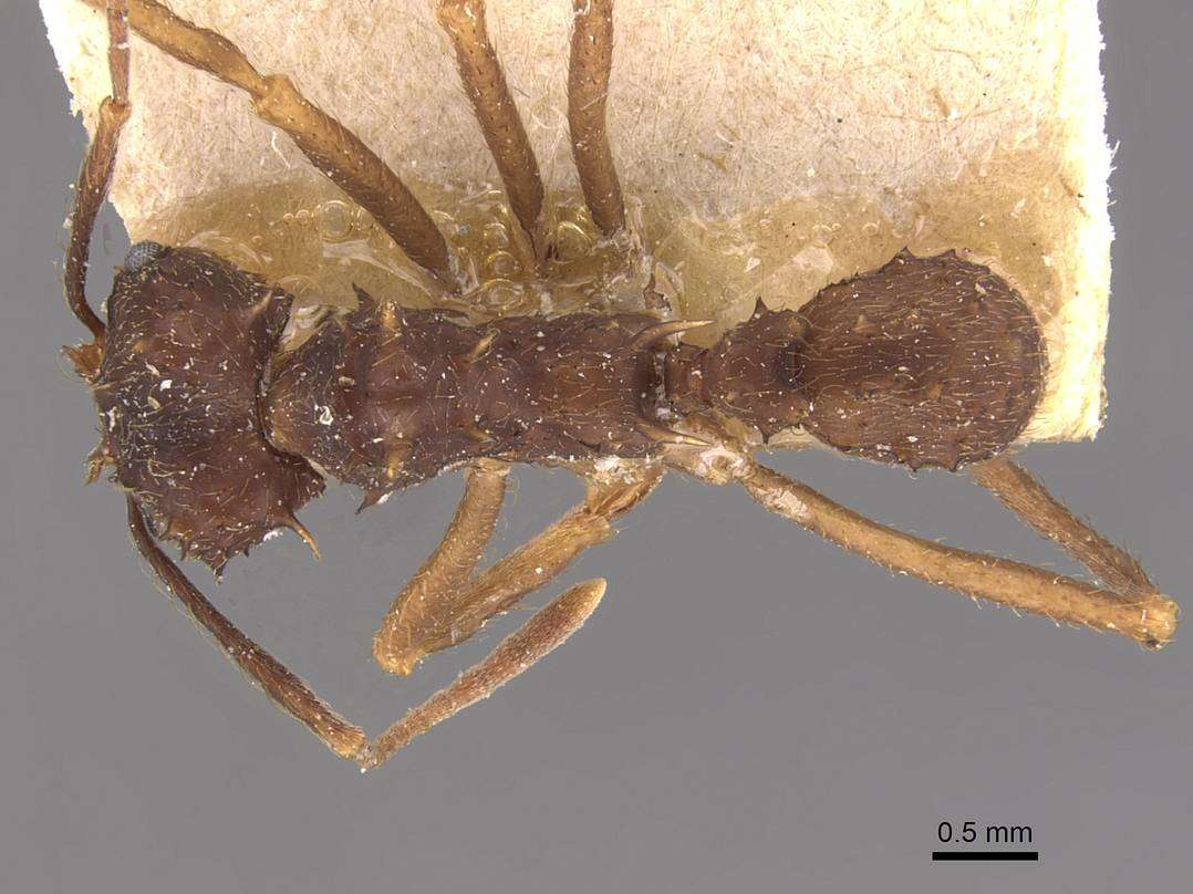Image of <i>Acromyrmex aspersus</i> (Smith 1858)