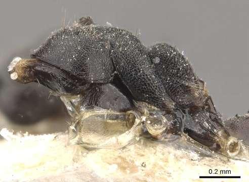 Image of <i>Technomyrmex modiglianii</i> Emery 1900