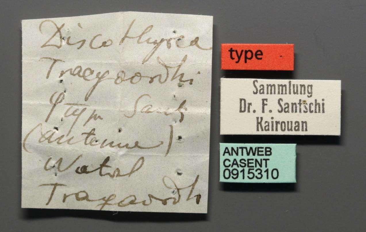 Image of <i>Discothyrea traegaordhi</i> Santschi 1914